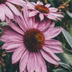 Echinacea – so gesund ist es wirklich